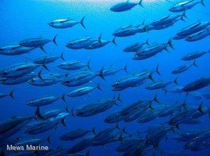 Australian Tuna License