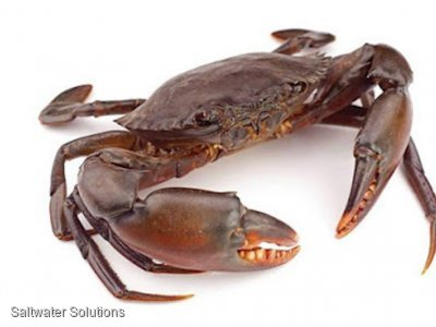 Approximately 10 ton East Coast Mud Crab $70+gst/Kg