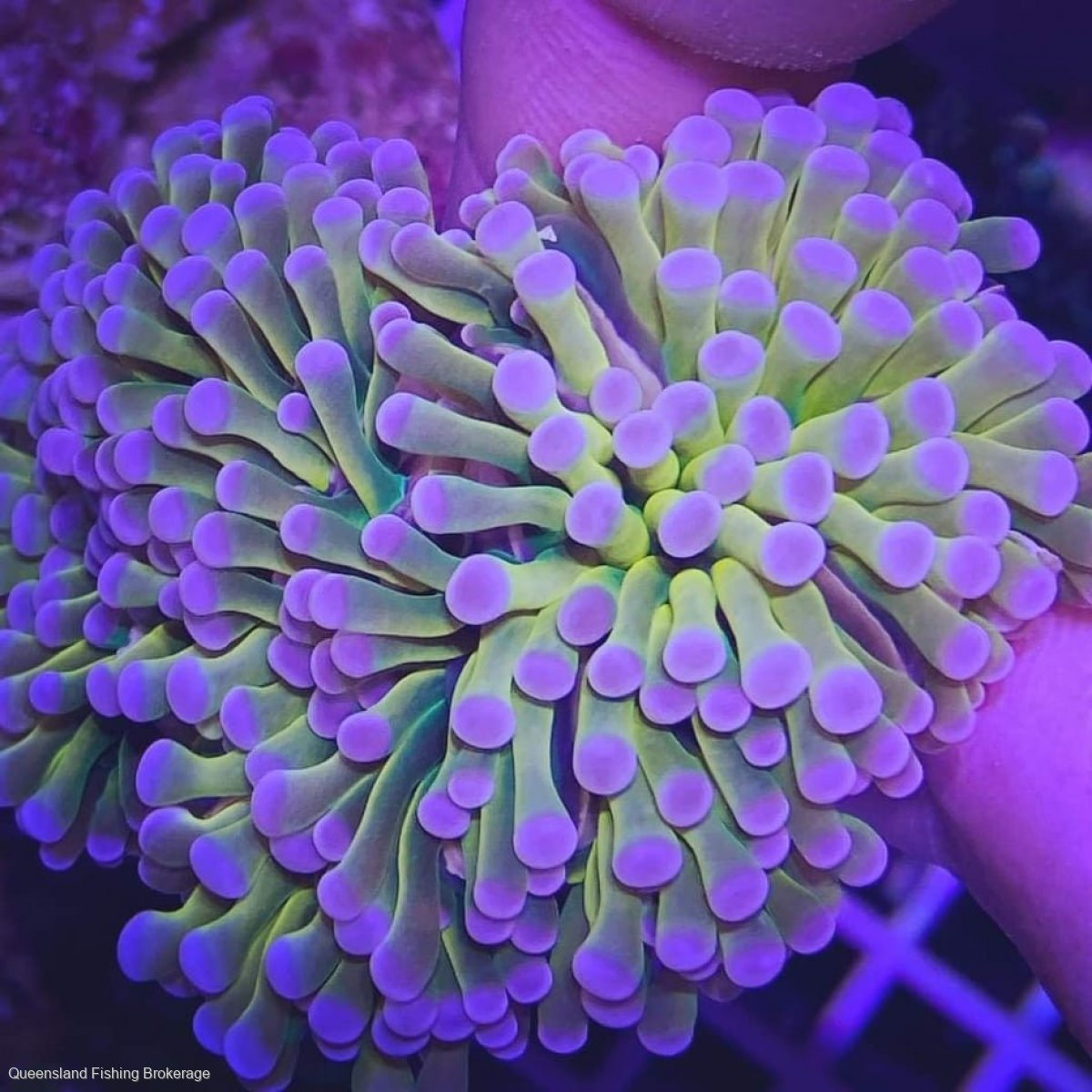 Coral Licence and Quota Package