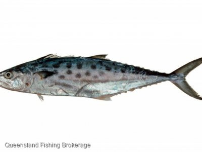 Wanted - School Mackerel Quota (QLD)