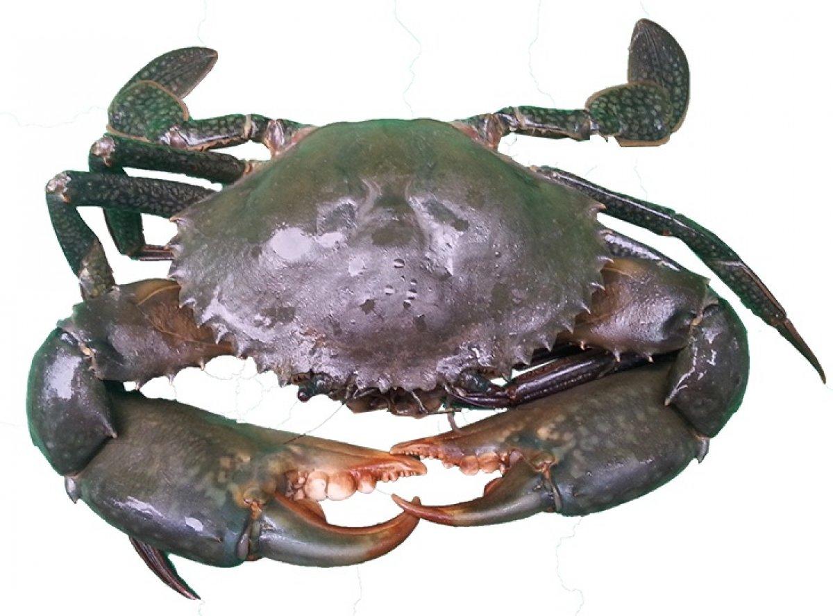 Lease - 6000kg of East Coast Mud Crab Quota