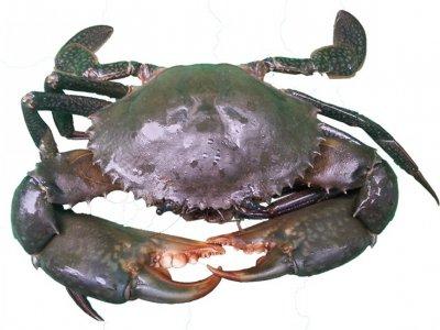 Lease - 850kg of East Coast Mud Crab Quota