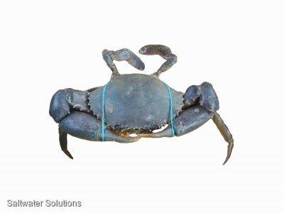 Mud crab quota