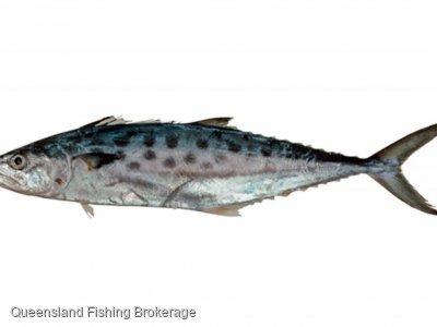 Lease - 590kg Zone 5 School Mackerel